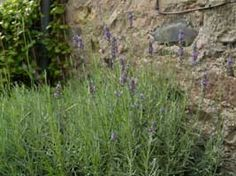Lavender growing advice >>>> Lavender is one of the best-loved herbs in the garden, and for good reason. Not only is it attractive and scented, this versatile plant thrives in some of the toughest of garden conditions.