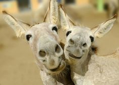 Smiling Donkeys....what's not to love about that!?