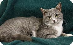 Blackwood, NJ - Domestic Shorthair. Meet Lainey, a cat for adoption. http://www.adoptapet.com/pet/12273182-blackwood-new-jersey-cat