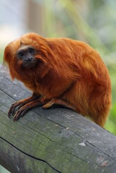 Golden Lion Tamarin(Leontopithecus rosalia) photographed by Paul Bugbee at Colchester Zoo on August 2011 Golden Lion Tamarin, Colchester Zoo, Go Ape, Primates, Beautiful Creatures, Wildlife, Monkeys, Character, Animaux