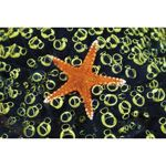 Sea Star on Sea Squirts Colony