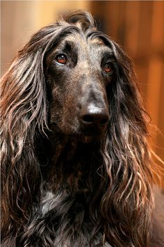 Afghan Hound Dogs....OMG he has Jamal's eyes!!!
