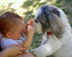 12 Reasons Why Shih Tzus Are Dangerous Dogs