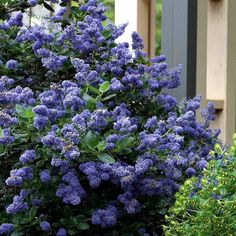 Yankee Point forms a perfect mounding bush, covered in bright deep blue flowers from late spring to early summer. Shrubs For Landscaping, Garden Shrubs, Landscaping With Rocks, Landscaping Ideas, Evergreen Garden, Evergreen Shrubs, Lilac Varieties, California Lilac, Low Maintenance Shrubs