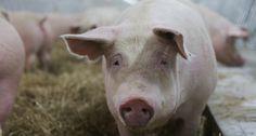 ÉLEVAGE DE COCHONS SANS CAGE POUR DUBRETON...Tous les porcs ne sont pas élevés de la même manière et les personnes à la recherche de produits élevés sans cruauté ont de quoi se réjouir - See more at: http://www.actualitealimentaire.com/actualites/tendances-et-consommation/elevage-de-300-000-cochons-sans-cage-pour-dubreton#sthash.aNtAMqye.dpuf