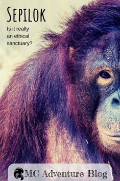 is one of the most popular orangutan sanctuaries in but are there methods really in the best interests of the animals or are they trying to make the most out of the tourism industry? Orangutan Sanctuary, Borneo Orangutan, Unique Hotels, Amazing Destinations, Travel Destinations, Water Features, That Way, Female Art, Tourism Industry