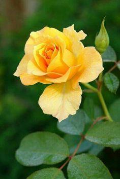 Rosa melocotón