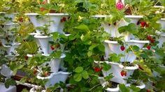Roof Top Strawberry Garden (Medium)