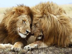 Beautiful Lions Pair 1400x1050 Wallpapers