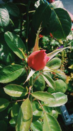 #rose #red #green #beautiful Red Green, Stuffed Peppers, Vegetables, Rose, Nature, Beautiful, Pink, Stuffed Pepper, Veggies