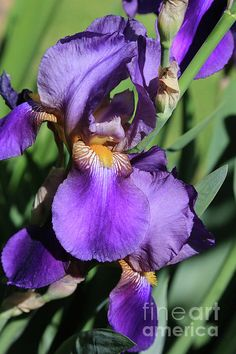 "What makes this ""mesmerizing""?  I'm not quite sure, but as I stare at it, I forget my worries.  ""Mesmerizing Purple Iris"" by Carol Groenen  #purpleiris #irises #carolgroenen #beautifulirises #purpleirises  http://carol-groenen.pixels.com"