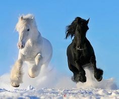 Beauty in black and white - horses, galloping, black, snow, wild, white, free