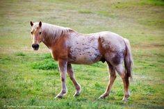 caballo (Equus ferus caballus