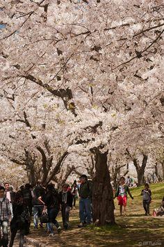 "Cherry blossoms (""Sakura"" in Japanese) in High Park, Toronto, 2011. Prunus x yedoensis 'Akebono', Prunus serrulata 'Fugenzo'."