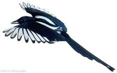 00459-Magpie-in-flight-white-background.jpg (1767×1104)