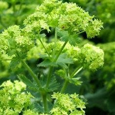 Buy 'Lady's Mantle' Alchemilla mollis | Coblands.co.uk