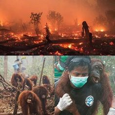 """Currently happening in the world is the greatest environmental disaster so far in the 21st century. An inferno is raging the length of Indonesia killing already endangered species like orang utans clouded leopards sun bears gibbons Sumatran rhinos Sumatran tigers and numerous others including humans. Numerous archaeological treasures are in ashes. If you want a truthful report check out George Monbiot's blog. Or pick up a Newsworthy paper. """"A great tract of the earth is on fire. It looks…"""