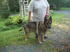 URGENT DUSTER is an adoptable German Shepherd Dog Dog in Martintown, ON. URGENT  Duster in need of foster/permanent home THIS IS HEARTBREAKING  ALL HE WANTS IS LOVE LOOK AT THAT SMILE!!    Hello my na...