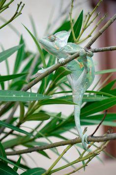 chameleon Chameleon, Travel Around, Nature, Animals, Animales, Animaux, Chameleons, Naturaleza, Animais