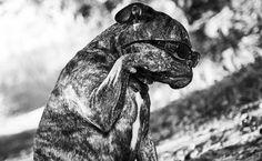 By PixelDizign - Hendrik Rijnierse Old old english bulldog: Lana 1