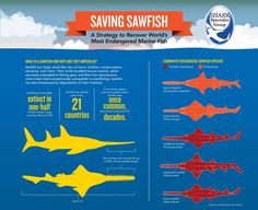 The Shark Trust  ·   ·  Saving Sawfish: a strategy for recovery of the world's most endangered marine fish.  View the full IUCN infographic at: http://www.sharktrust.org/shared/downloads/shark_conservation/iucn_sawfish_infographic.pdf