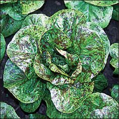 Forellenschluss Lettuce. Gorgeous Austrian heirloom with green leaves speckled with maroon. Superior flavor; holds very well in the summer heat. Our all-time favorite! Romaine