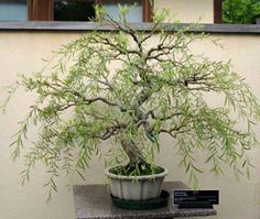 """""""weeping willow bonsai"""" Donna"""
