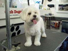 maltese puppy cut