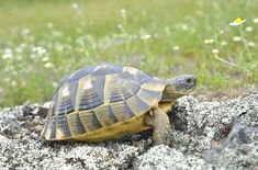 The Greek Tortoise is also referred to as the Spur-Thighed Tortoise.