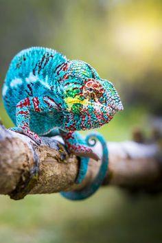 Chameleon , Beautiful Creatures of Nature The Animals, Colorful Animals, Nature Animals, Funny Animals, Reptiles Et Amphibiens, Mammals, Beautiful Creatures, Animals Beautiful, Animal Captions