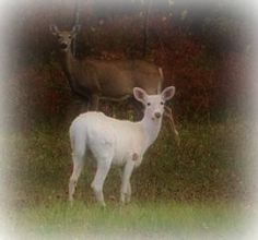 It is believed that the ghost of Virginia Dare of The Lost Roanoke Colony manifests herself as a white doe