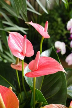 Anthurium (pink) by Karl Gercens