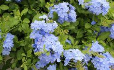 Exotische Kletterpflanzen -  Himmelsblume, Duft-Jasmin, Wonga-Wonga-Wein – allein schon die Namen dieser exotischen Kletterpflanzen klingen verführerisch. Diese Klettermaxe aus aller Welt bringen in Topf und Kübel Urlaubs-Flair auf die Terrasse.
