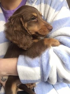 Dachshund Dog Things I love about the Smart Daschund Dogs Dachshund Funny, Dachshund Breed, Mini Dachshund, Dapple Dachshund, Mini Long Haired Dachshund, Daschund Puppies Long Haired, Long Haired Weiner Dogs, Brown Dachshund, Weenie Dogs