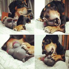 Porfin!! Un ratón que se deja cazar!! #perro #regalodereyes #dog #gos #happydog