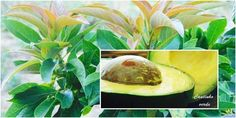 Cantinho verde - horta e jardim: Cultivo do #abacateiro (#abacate)
