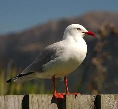 seagull images - Google Search