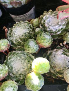 Spider web succulent Artichoke, Planting Succulents, Sprouts, Vegetables, Spring, Garden, Spider, Plants, Artichokes