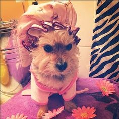 Yorkshire Terrier| Bath time| Pet Photography| Teacup Yorkie