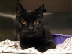 Summer is an adoptable Domestic Short Hair-Black Cat in Woodbridge, NJ.  ...