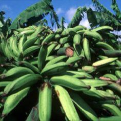 Guineo, banana o platano