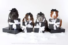 fabulous guinea pig fashion collections