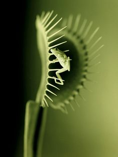 Venus Fly Traps, beautiful but deadly. No, no little frog ! The brave little frog visits the venus fly trap but gets out safely. Photo Macro, Plante Carnivore, Fotografia Macro, Fly Traps, Frog And Toad, Carnivorous Plants, Foto Art, Reptiles And Amphibians, Amazing Nature