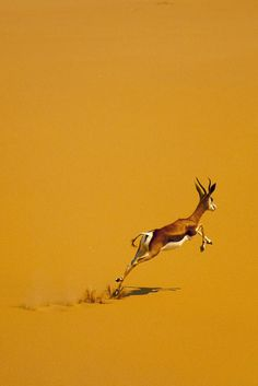 Springbok in desert - Angola by Eric Lafforgue