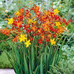 Garten-Montbretien-Mischung - Sommerblüher (Pflanzung im Frühjahr)