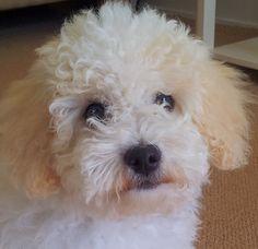 Bella Bichon/Poodle | Pawshake