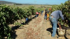 Harvest time at MAN Vintners, Jonkershoek Valley, South Africa