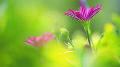 art by uemura shoen   Purple morning flowers HD wallpaper   HD Wallpapers Rocks