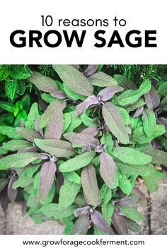 Here are 10 reasons why you should be growing sage in your garden this season for your health and for food! Sage is an awesome herb you should be growing for many reasons! Let's explore some of the many ways growing sage can be beneficial for your garden, your palate, and your health. Gardening For Beginners, Gardening Tips, Herbs List, Ferns Garden, Garden Guide, Garden Ideas, Herbs For Health, Starting A Garden, Herb Pots