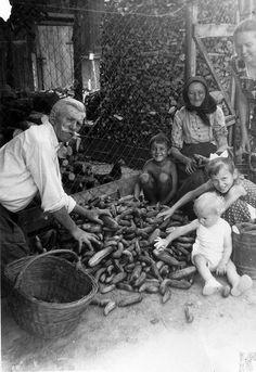 1958-as felvételen a gazdag uborkatermést gyűjtik össze.